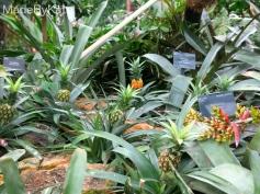 ananas_kew_gardens