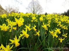 narciso daffodils